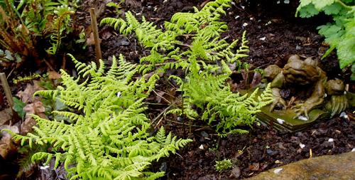 Gymnocarpium dryopteris or Oak Fern