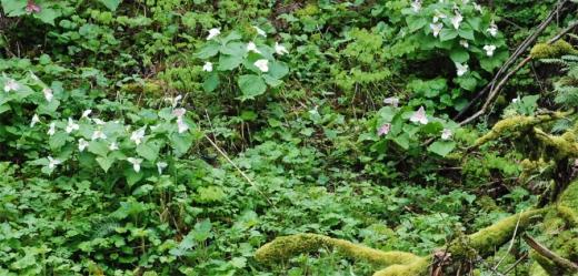 Trillium ovatum wild