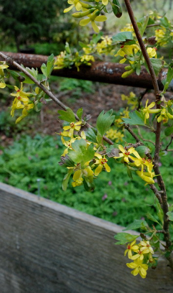 yellow currant