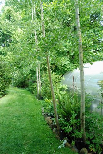 four aspen trees
