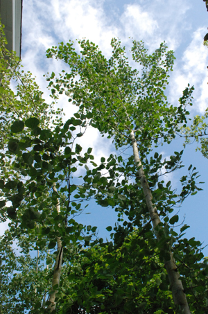 top of the aspen trees