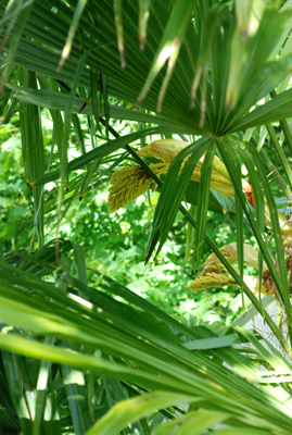 windmill palm blooming