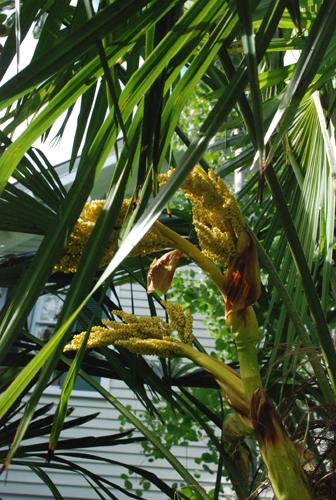 windmill palm bloom
