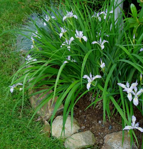 Douglas' iris, Iris douglasiana