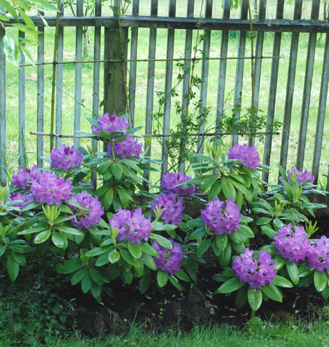 purple rhodendrons