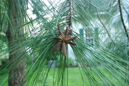 Ponderosa pine flower