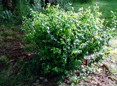 spirea growth following pruning