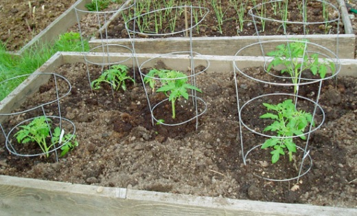 tomato bed