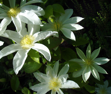 white clematis closeup