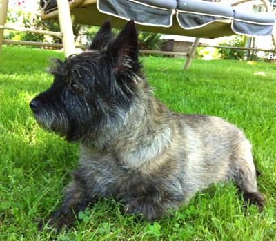 Argyle Braveheart, Cairn terrier