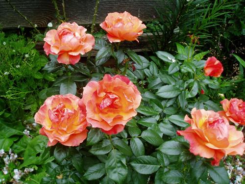 rose 'Livin' Easy'