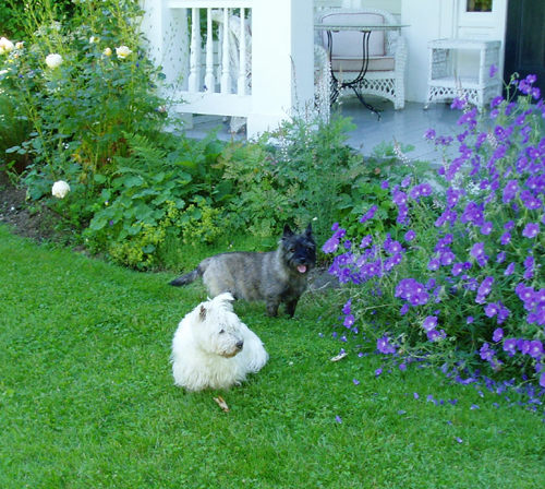 terriers in the garden