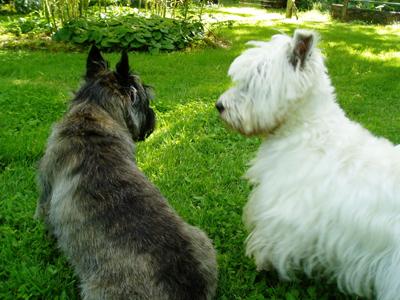 Westie meets Cairn