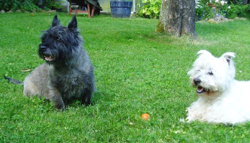 Cairn & Westie