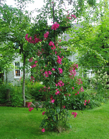 ingrate pillar rose