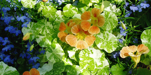nasturtiums variegated leaves & peach bloom