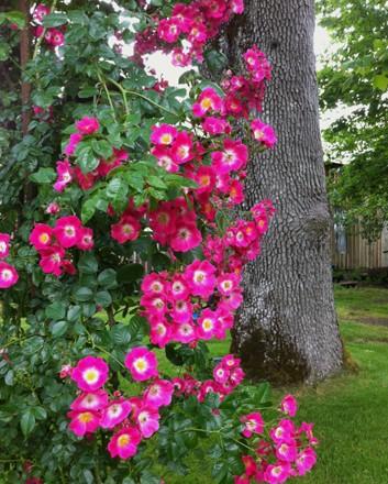 American pillar rose PINK