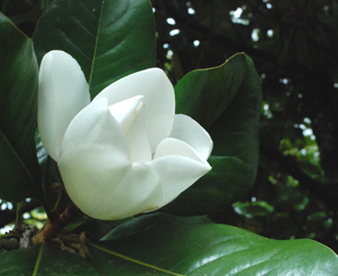 Magnolia grandiflora bloom