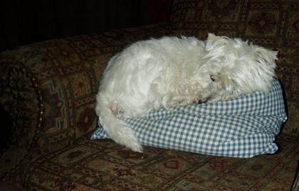 Westie nap