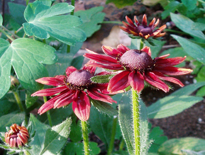 Rudbeckia 'Cherry Brandy' flowers