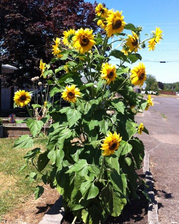 street sunflower