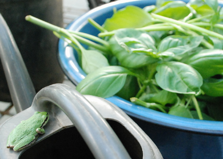 greenhouse frog and cut basil