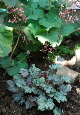 Heuchera Purple Palace