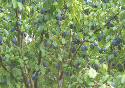 Italian prune tree