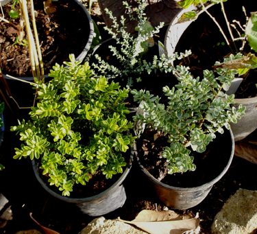 three different hebe plants