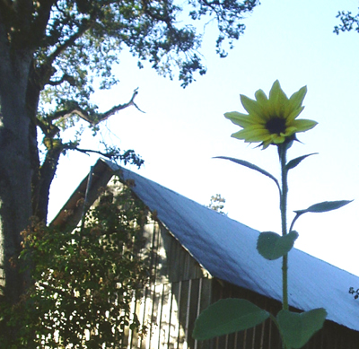 tiny fall sunflower