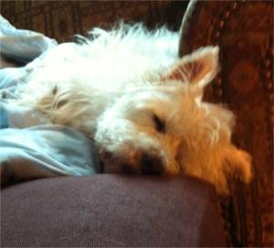 tired Westie