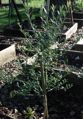 hardy olive tree in January