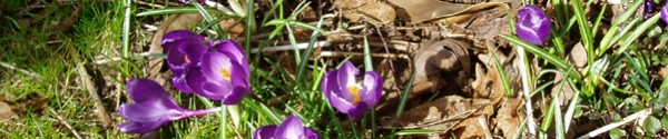 not plastic crocus blooms