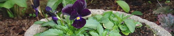 black viola