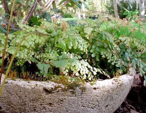 adiantum capillus-veneris bowl