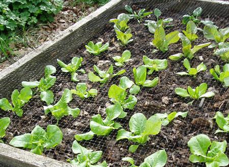 good lettuces