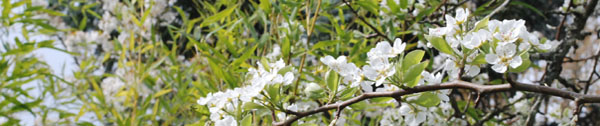 pear blossoms and bamboo