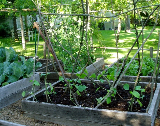 cucumber plants on twig trellis