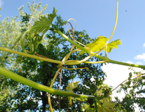 grapevine containment system
