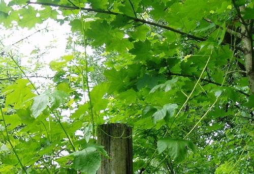 grape vine attacks maple tree