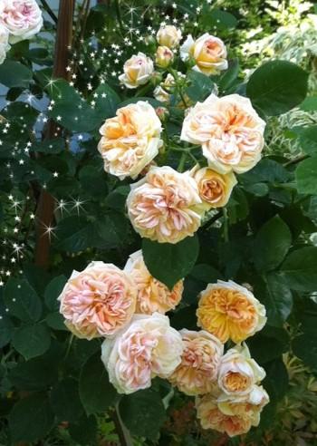 Alchymist magic rose