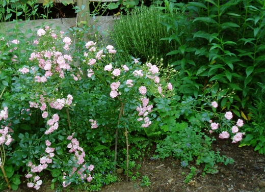 Fairy Roses in the border
