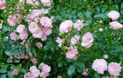 pink Fairy Roses