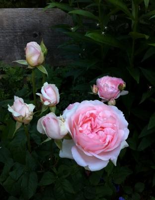 magic Sharifa asma rose