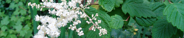 Oceanspray, Holodiscus discolor