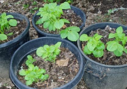 potato plants growing in pots