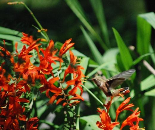 hummingbird & crocosmia