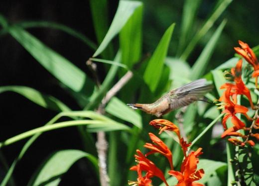 hummingbird trick