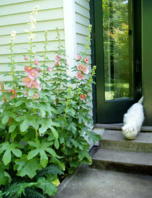 hollyhocks and Max by the back door
