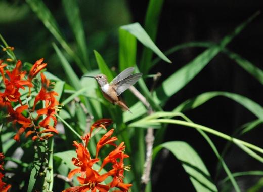 rufous hummingbird hovers